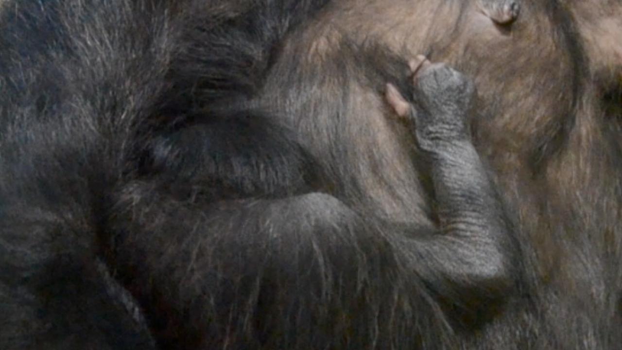 Chimpansee in Dierentuin Nuenen is bevallen van jong