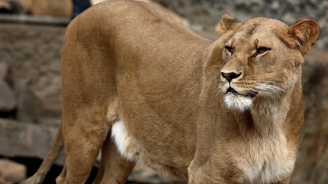 Leeuwin overleden in Artis