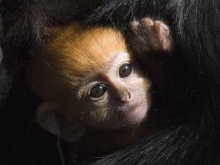 Pasgeboren aapje heeft momenteel een knaloranje vacht