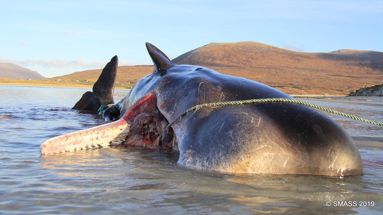 Potvis bij Schotse kust aangespoeld met 100 kilo afval in maag