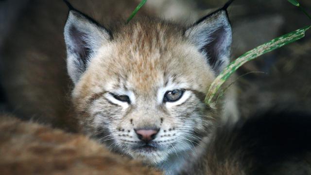 Lynx geboren in Dierenrijk Nuenen
