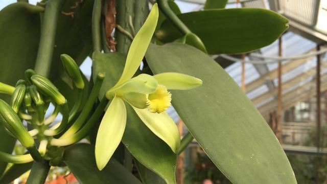 Vanille-orchidee voor het eerst in bloei in de Hortus botanicus