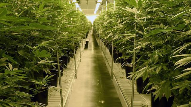 Wetenschappers maken cannabis zonder hennepplant