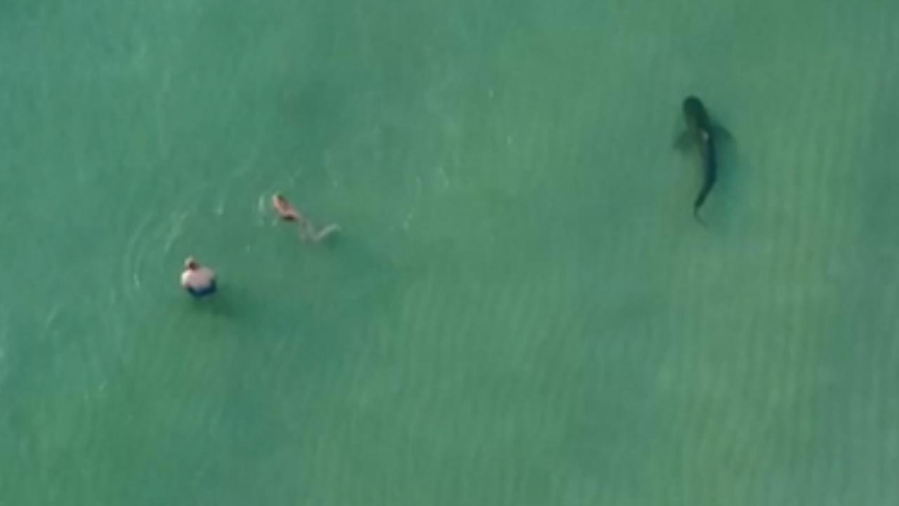 Drone filmt hoe tijgerhaai vlak langs badgasten zwemt in Miami