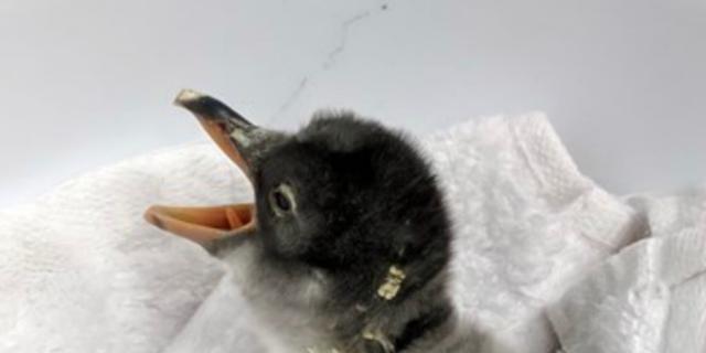 Homoseksueel pinguïnkoppel broedt ei succesvol uit in aquarium Australië