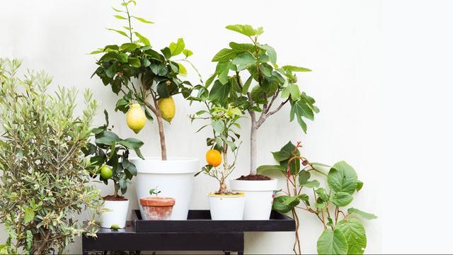 Set van vier mediterrane fruitboompjes van 79,95 euro voor 34,95 euro