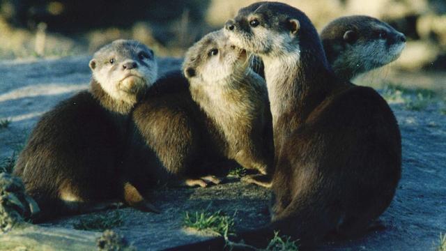 Speurhonden gaan verweesde otters opsporen in Overijssel
