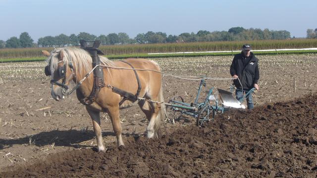 Ploegen met paarden en oldtimertractoren in Sprundel