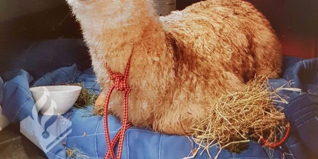 Politie vindt alpaca in centrum Haarlem