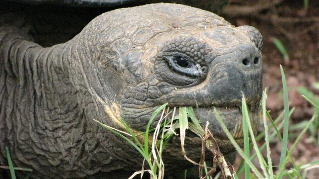 Meer dan honderd babyschildpadden gestolen op Galapagoseilanden