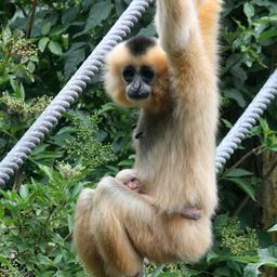Jong aapje spoorloos verdwenen in Artis