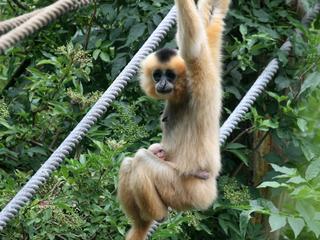 Jonge gibbon was sinds maandag vermist