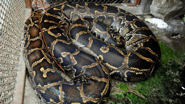 Zwangere python van 5 meter gevonden in Amerikaans nationaal park