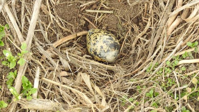 Eerste kievitsei van het jaar gevonden in Gelders Bruchem