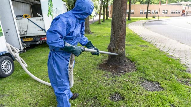 Gemeente heeft zo'n 550 bomen vrijgemaakt van eikenprocessierups