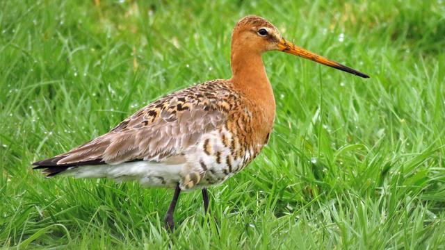 Vogelbescherming wil maatregelen provincies tegen afname weidevogels