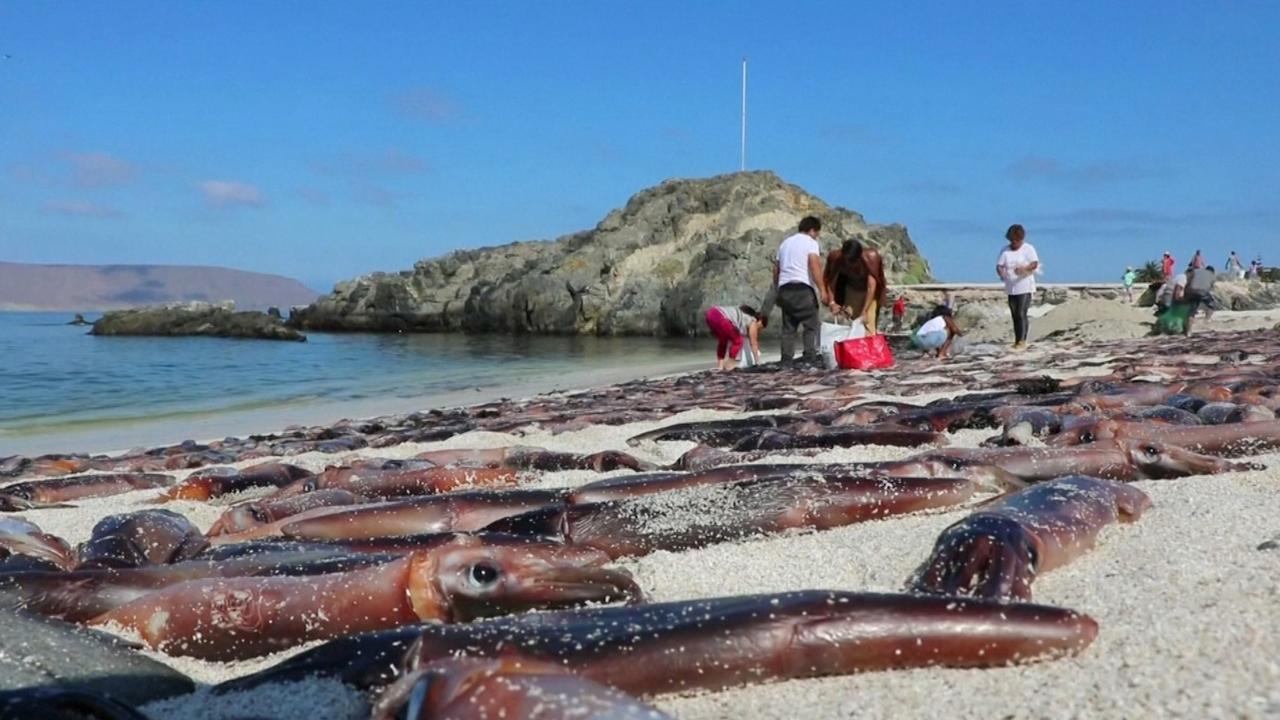 Chileense stranden bezaaid met duizenden dode inktvissen