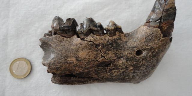 Jongen vindt in Gelderland botten van prehistorische grottenleeuw