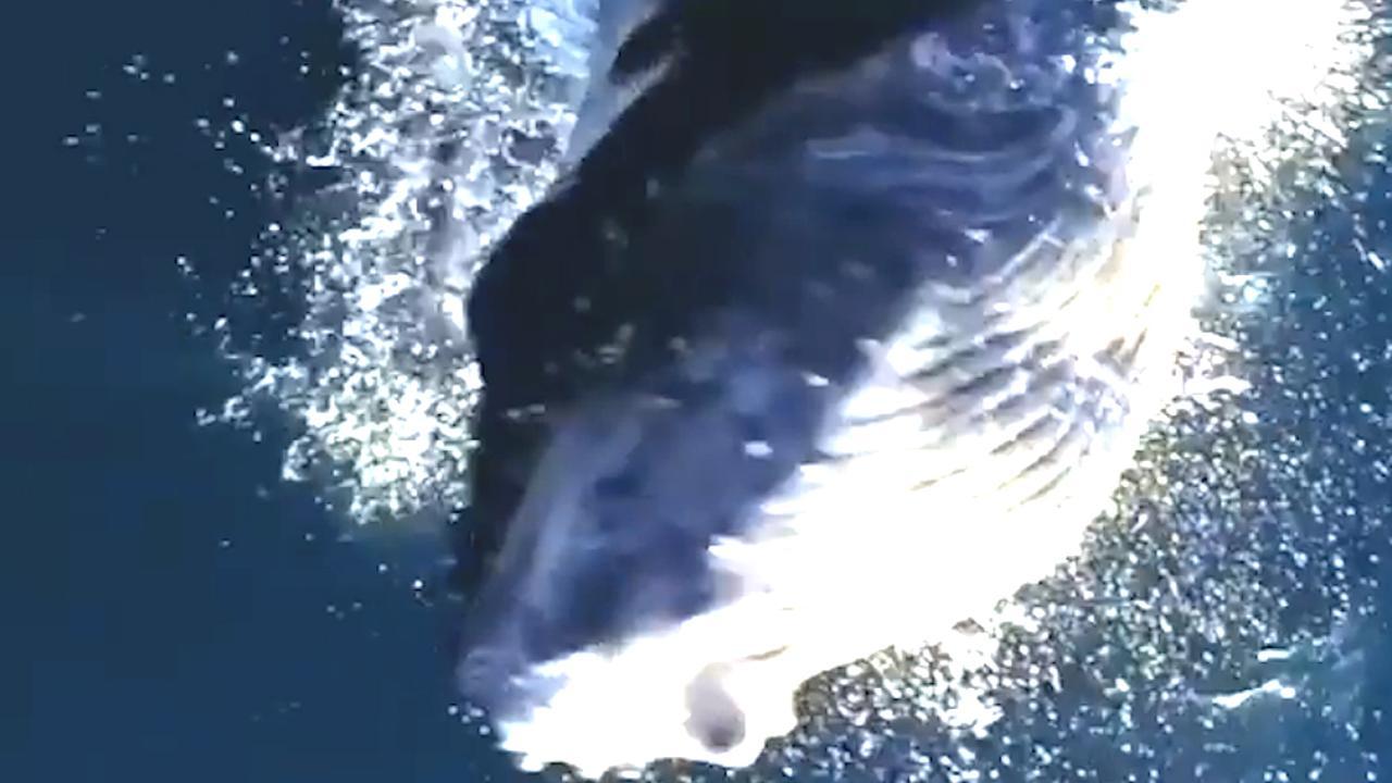 Bultrugwalvis springt naar vliegende drone bij Hawaïaans eiland
