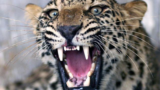 Luipaard maakt school India onveilig