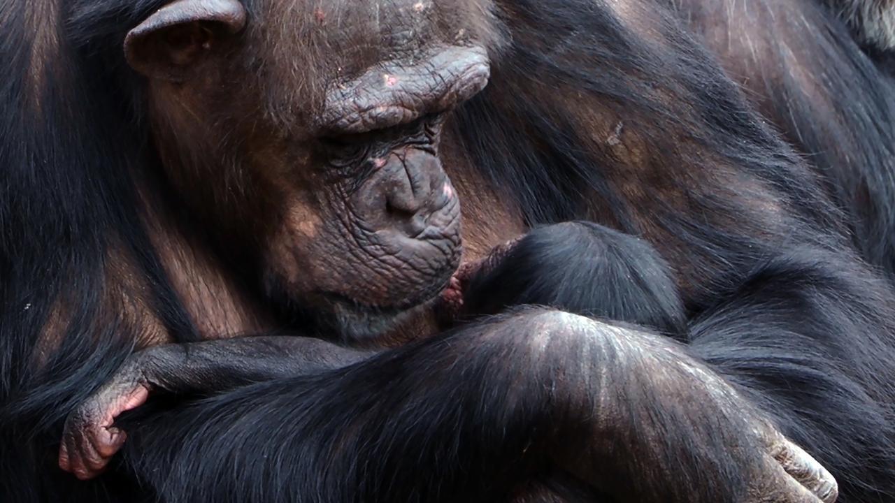 Photo of Opnieuw chimpansee geboren in Safaripark Beekse Bergen | NU.nl