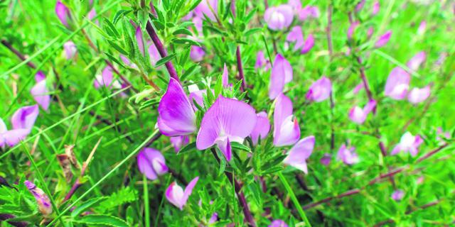 Meer zeldzame plantensoorten op West-Brabanse dijken gespot