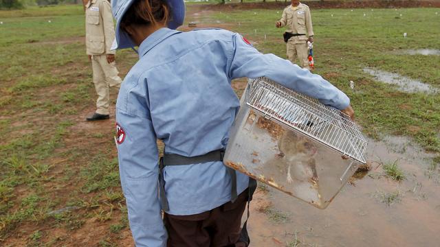Gambiahamsterrat krijgt gouden medaille voor opsporen van landmijnen
