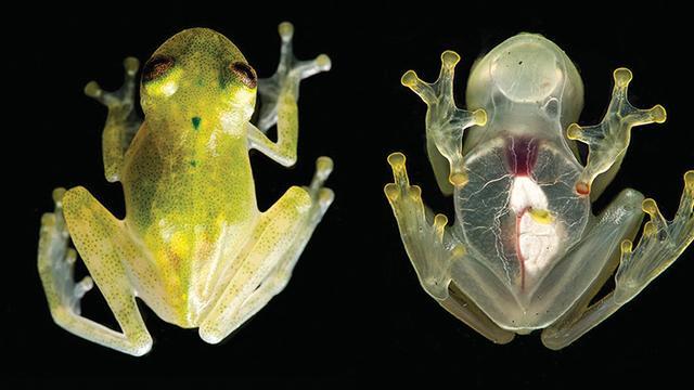 Doorzichtige kikkers ontdekt in Amazonegebied