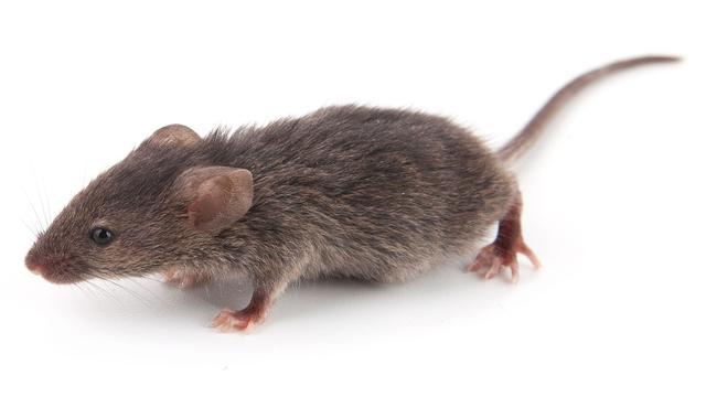 Wetenschappers kweken stotterende muizen
