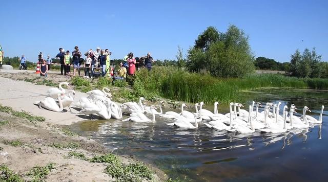 Eerste schoongemaakte zwanen uitgezet na olielek Rotterdam