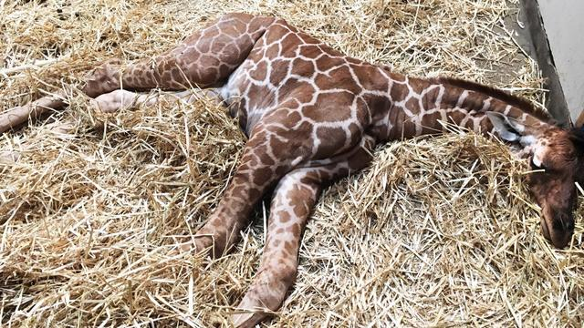 Pasgeboren giraffe in Artis overleden