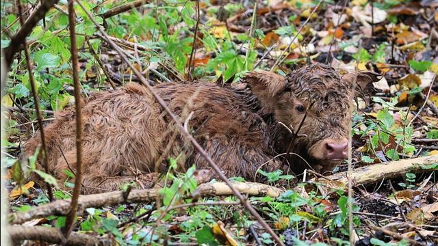 Schots Hooglanderkalfje geboren op natuurgebied Eiland van Brienenoord