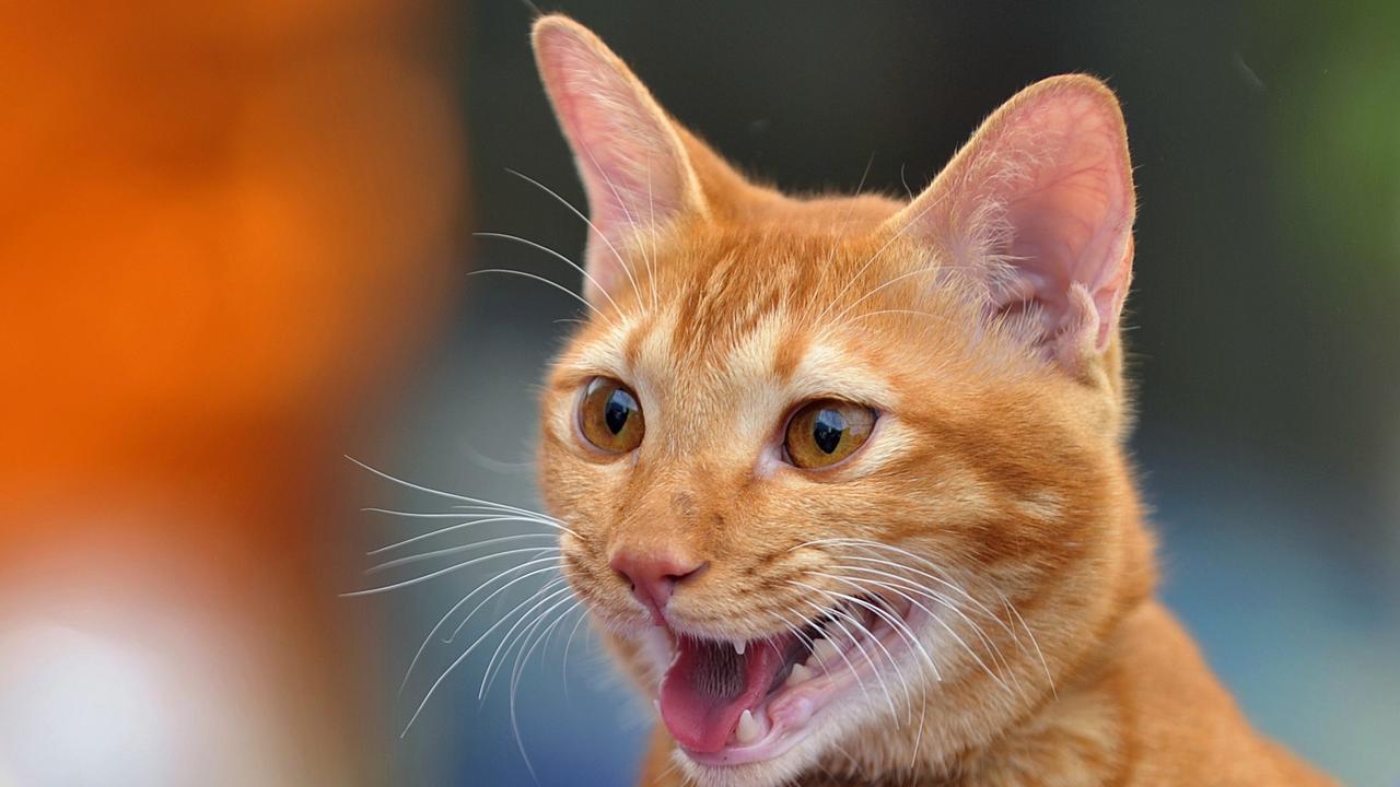 Kat schrikt van courgette