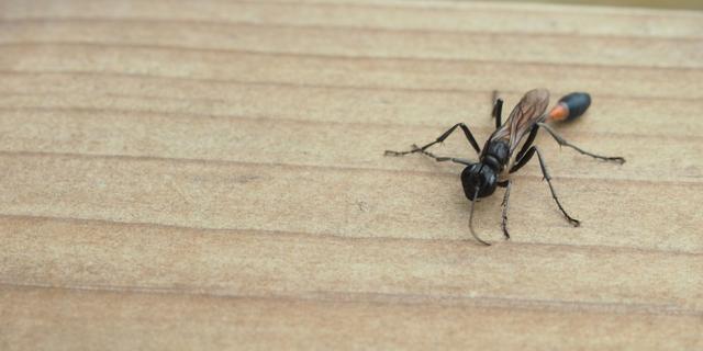 Schotten ontvluchten huis voor vliegendemierenplaag