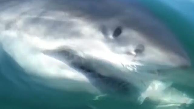 Witte haai is Amerikaanse vissers te snel af