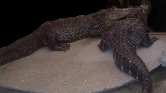 Partij voor de Dieren: geen krokodil meer in Amsterdamse huiskamer