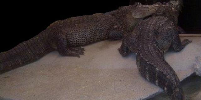 Eigenaar van alligators die geld bewaakten weer op vrije voeten