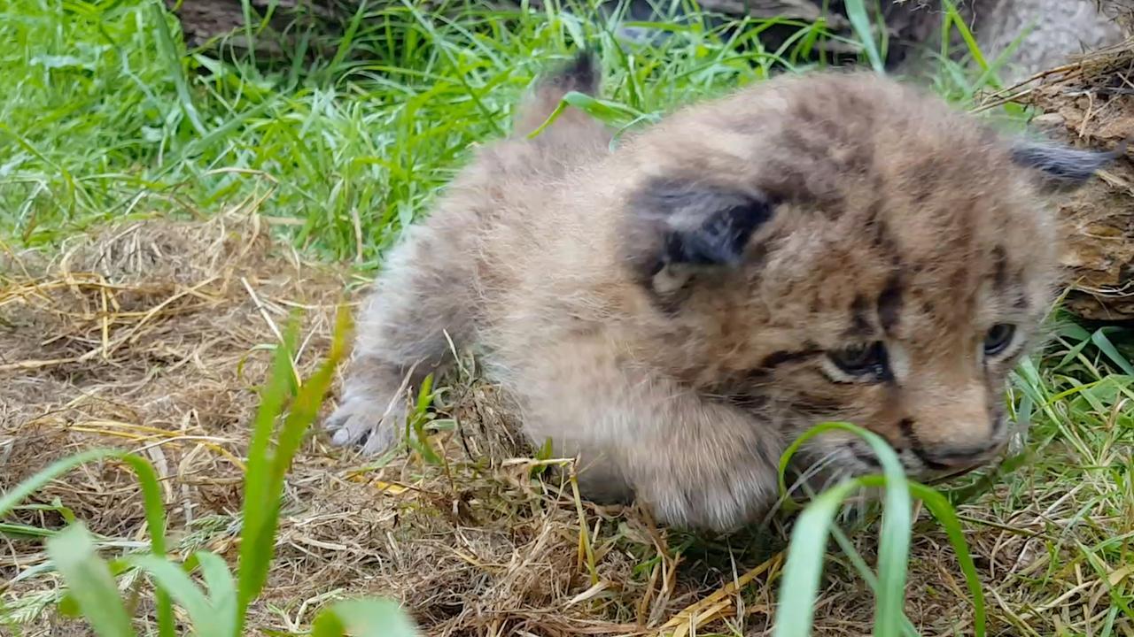 Eerste beelden van pasgeboren lynx in Dierenrijk