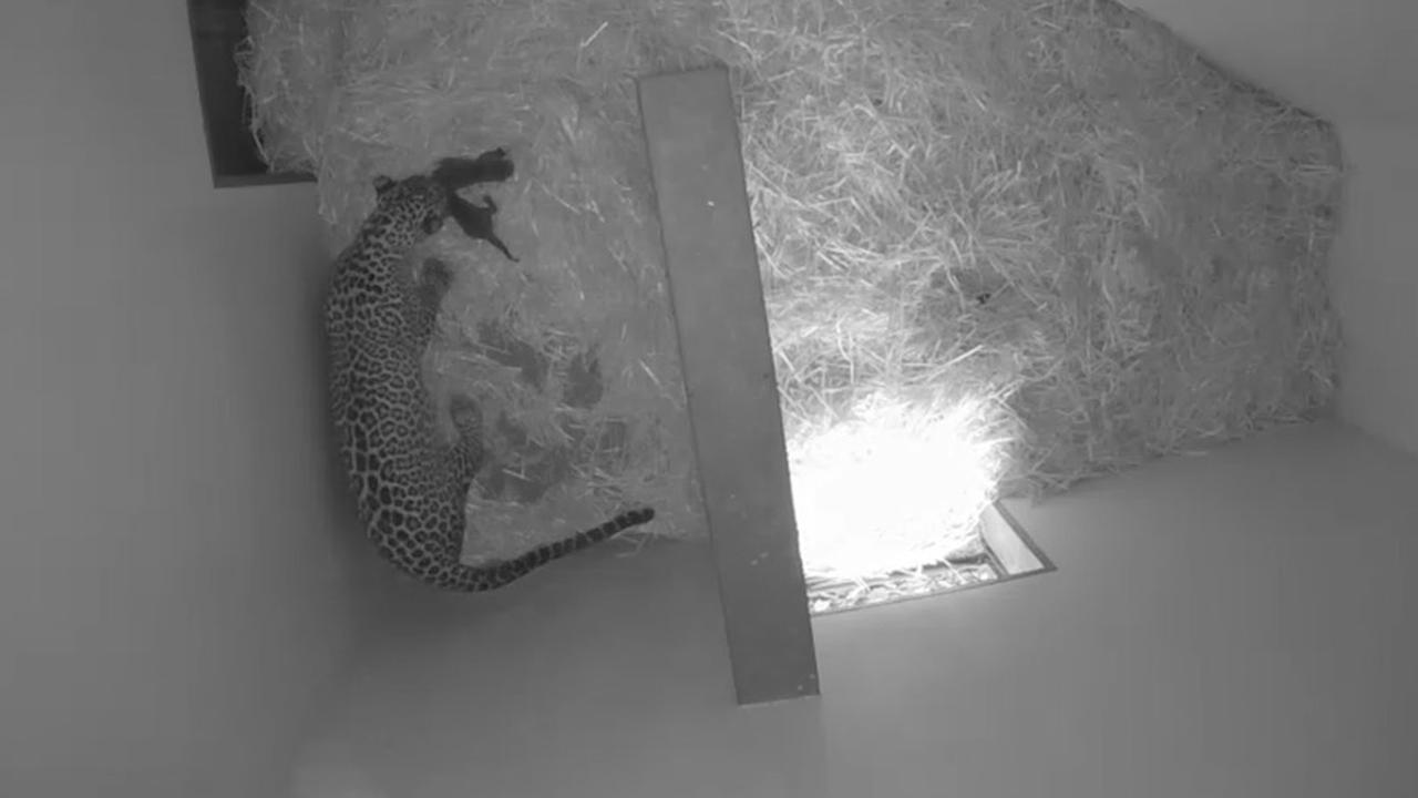 Sri Lankaanse panter werpt twee welpjes in Burgers' Zoo