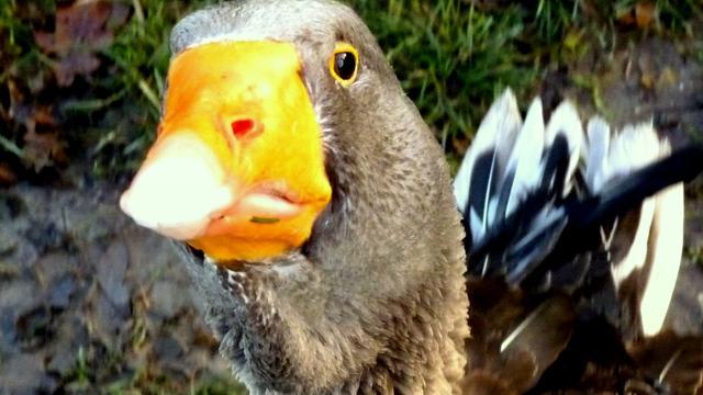 Jacht op overlastgevende ganzen geopend