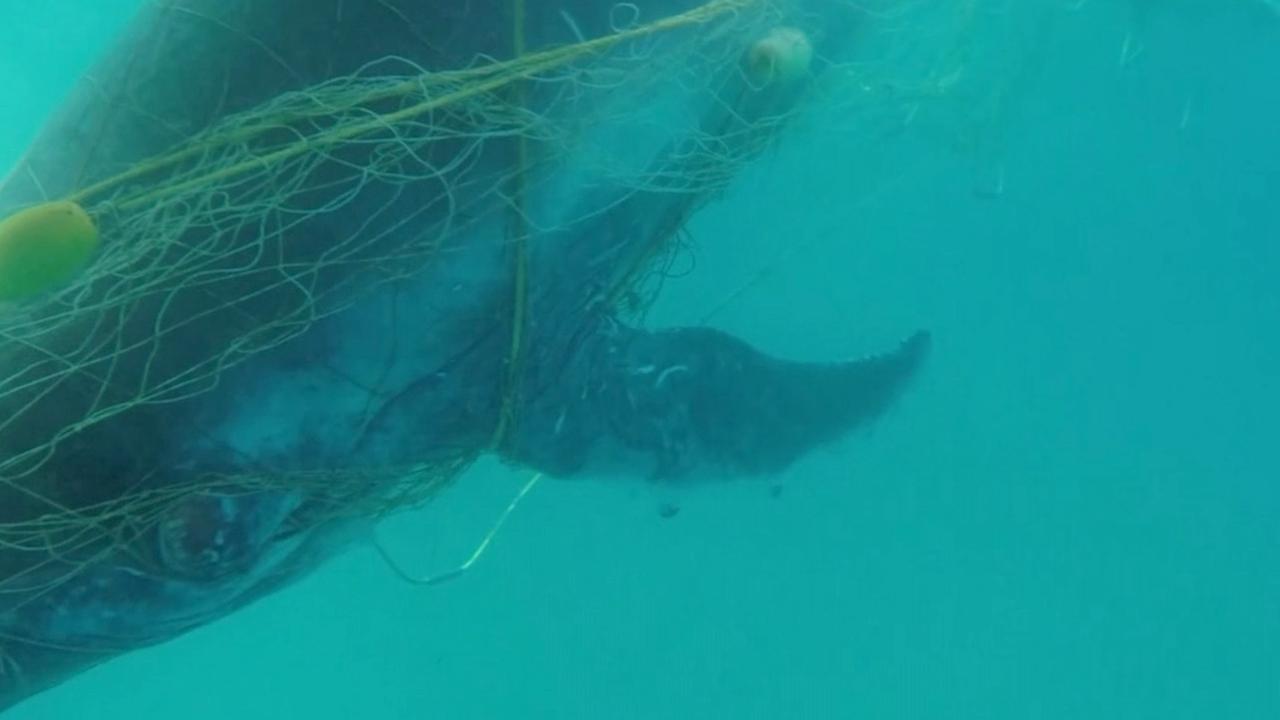 Jonge walvis gered uit haaiennetten in Australië