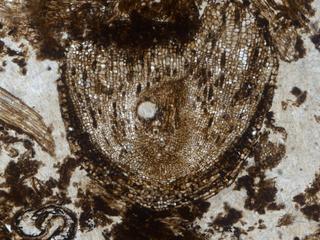Fossiel van plant is 320 miljoen jaar oud