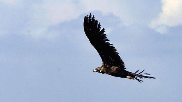 Zeldzame monniksgier gespot boven natuurgebied Drenthe