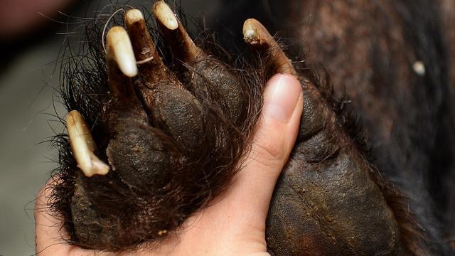 Verdoofde beer valt naast opvangkussen in Colorado