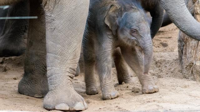 Olifant Kina bevalt in Dierenpark Amersfoort van eerste jong