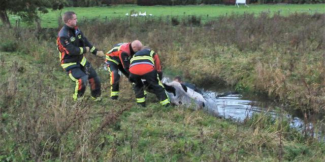 Brandweer redt kalfje uit modderige sloot