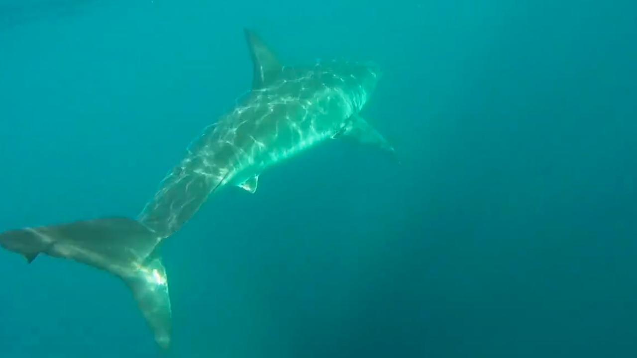 Witte haai achtervolgt kajakkers in Australië