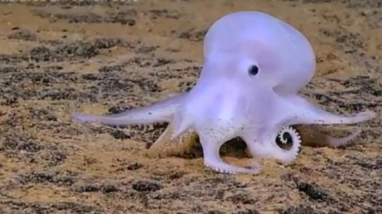 Spookachtige octopussoort ontdekt nabij Hawaii