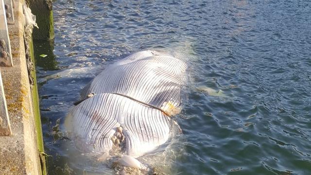 Dode walvis aangetroffen in haven van Vlissingen