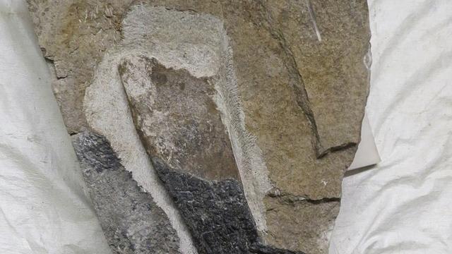 Utrechtse paleontoloog vindt uniek dinosaurusfossiel op Schots eiland